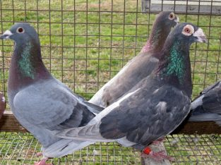 American Trenton Pigeon Wanted